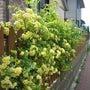 モッコウバラが咲きま…