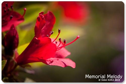 Memorial Melody 写真館-カラフネ(黒ツツジ)