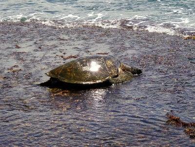 $楽園ハワイ通信 by Lani Tours-ウミガメの食事