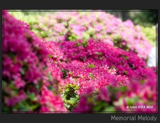 Memorial Melody 写真館-つつじ