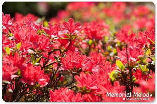 Memorial Melody 写真館-小城の踊唐子(くるめつつじ)