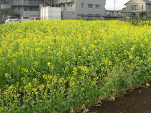 microcosmos B-菜の花1