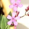 ピンクの雑草の画像