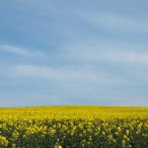 黄色の絨毯。青い空。