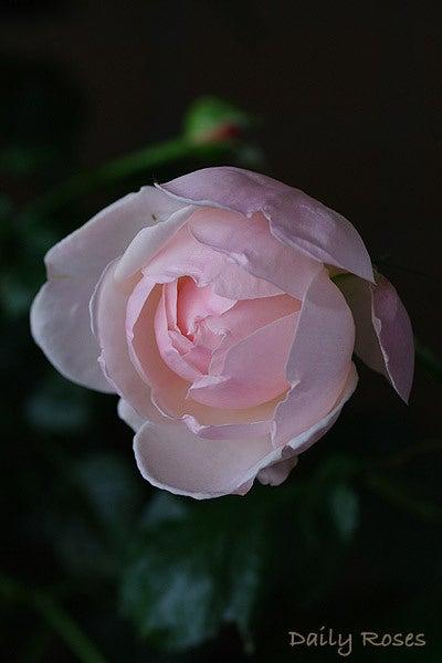 Daily Roses-20100603_33.jpg