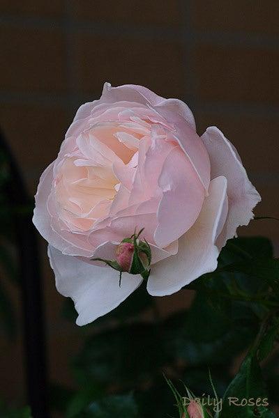 Daily Roses-20100603_34.jpg