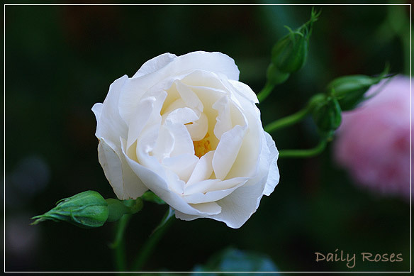 Daily Roses-20100603_23.jpg