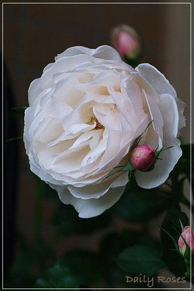 Daily Roses-20100603_35.jpg