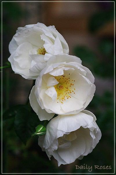 Daily Roses-20100603_24.jpg