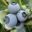 【2020年評価】リベイル◆ブルーベリーの品種17の記事より