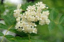 $ムツゴロウ動物王国のブログ-ナナカマド花
