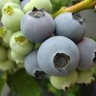 【2020年再評価】 ブルーベリーの品種14 シャープブルーの記事より