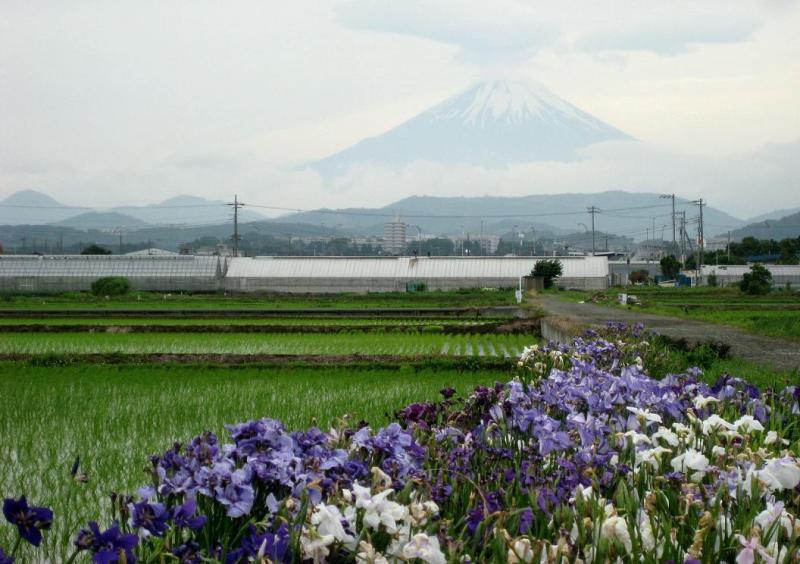 ⇒花ショウブと富士山