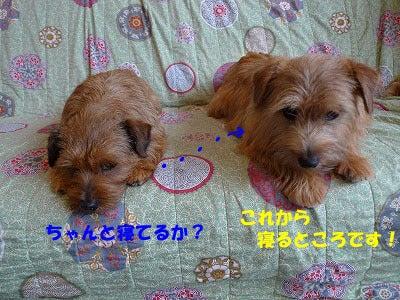 シェルティ・ノーフォークテリア・コリー・ECHOS M. の日記