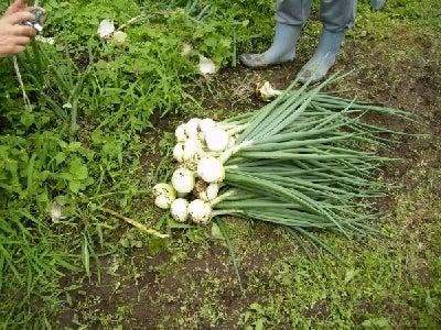 僕と野菜と田舎暮らし-たまねぎ