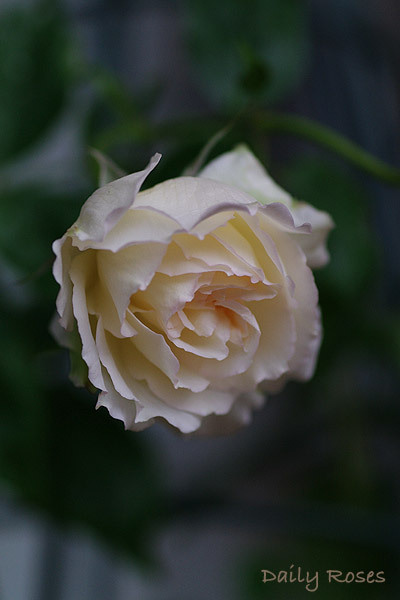 Daily Roses