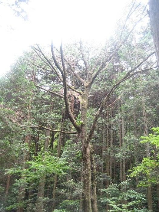 枯れてしまったコナラの大木