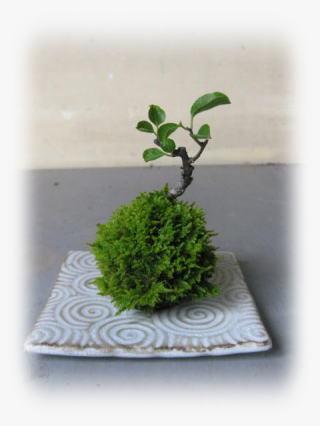 盆栽:苔玉の苔は元気でも、、、