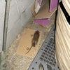 こんなネズミもいるんですよ、郊外には。の画像