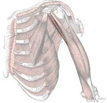 烏口腕筋 coracobrachialis | 筋...