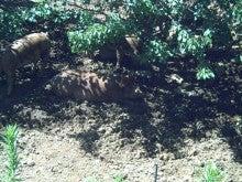 馬を愛する男のブログ Ebosi Kogen Hose Park -木陰の豚たち