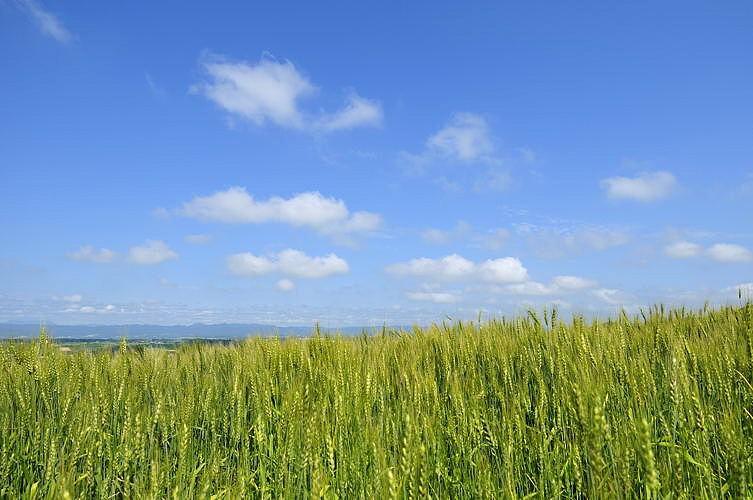 ブロふぉとぎゃらり~-大麦豊穣