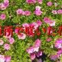 近所の花(12枚のス…