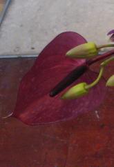 $ラ・フォリアのひとりごと-アンスリウム ハート型 オオベニウチワ