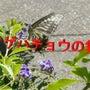 アゲハチョウ(4枚の…
