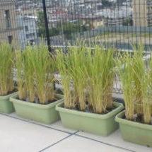 稲は育ってます!