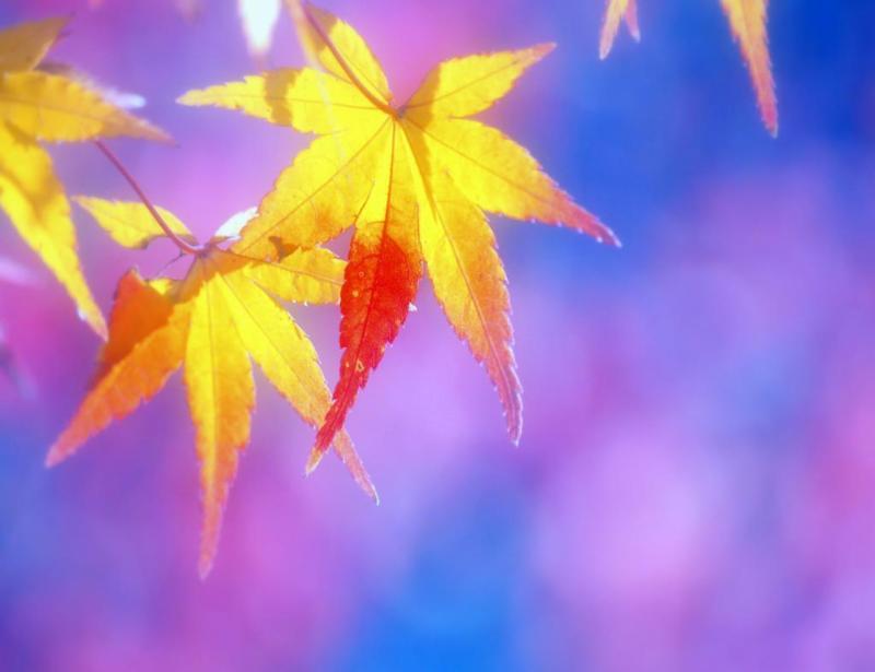 白鳥座-秋化粧