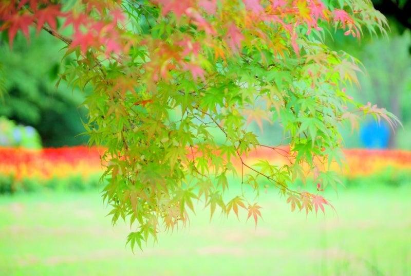 白鳥座-彩りの華