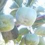柿☆3種類
