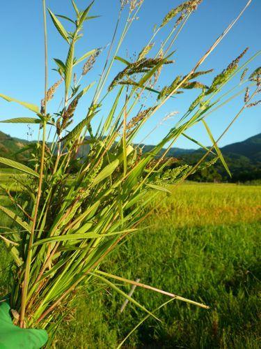 京都で自然な農を提案!農業体験も実施! しましま畑でつかまえて-ひえの束