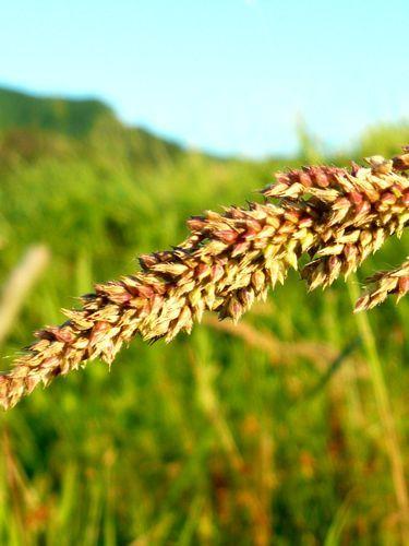京都で自然な農を提案!農業体験も実施! しましま畑でつかまえて-ひえアップ