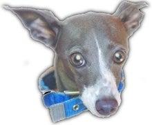 にほんブログ村 犬ブログ イタリアングレーハウンドへ