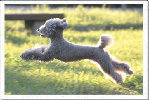 my angel poodle