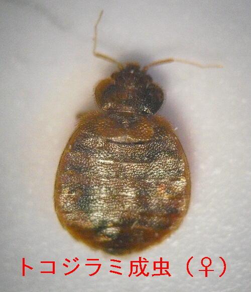 トコジラミ(南京虫)の吸血