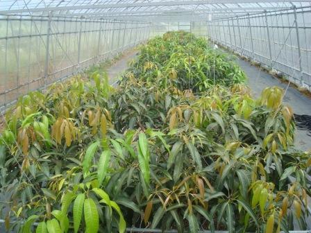 仕事人 稔のセカンドライフ                      「遠矢農園のマンゴー園」