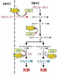 エネルギー供給系 ~ 解糖系 ~ ...