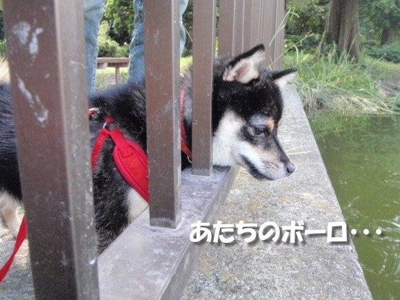 豆柴お凜のブログ