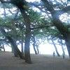 ♪ 羽衣の松  in 三保の松原の画像