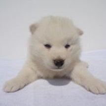 ふかふか真っ白な柴犬…