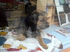 怒れる小さな茶色い犬-100930r