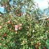 * 久しぶりのりんご園の画像