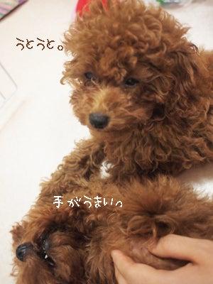 Cotton Candy Chick               ~トイプードル ロッタとポネットの日記~