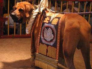 犬とペットのブログ-土佐犬