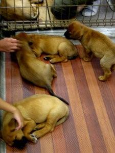 犬とペットのブログ-土佐闘犬