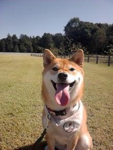 柴犬まちの成長日記