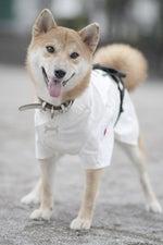 $柴犬八子(ハチコ)の「犬相撲?!」